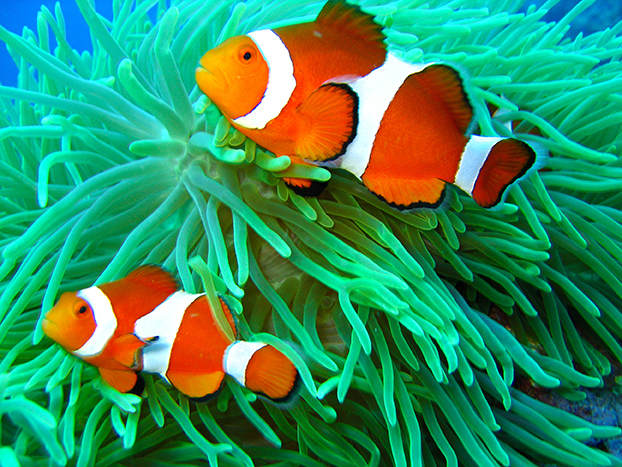 This is a photo of a clown fish underwater on a scuba diving ecotourism adventure